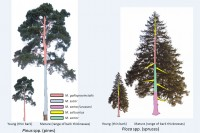 Monochamus tree preferences